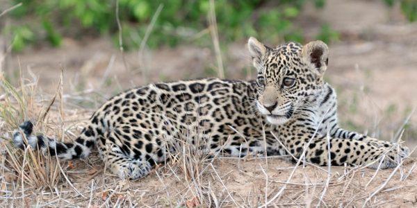 Jaguar en el Parque Nacional y Área Natural de Manejo Integrado Kaa Iya del Gran Chaco