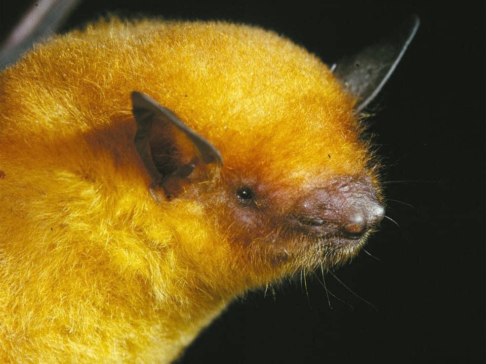 Murciélago vespertino de oro