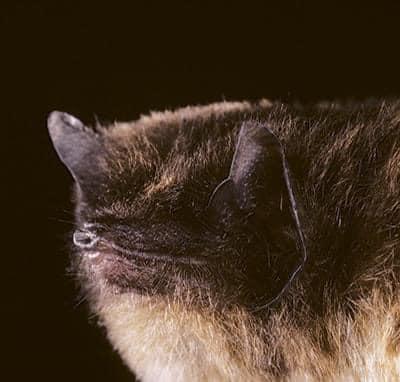 Murciélago con ventosas de Spix
